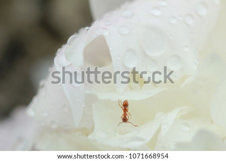 Close up of ant drinking on a water drop in the garden #1071668954