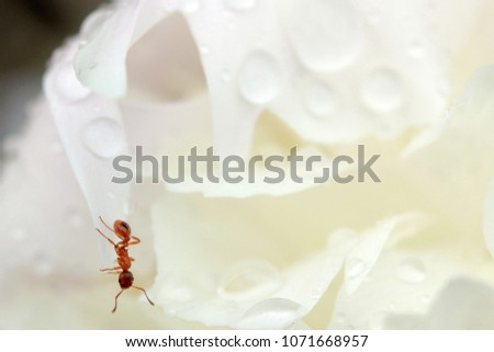 Close up of ant drinking on a water drop in the garden #1071668957