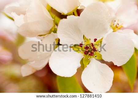 Close up of apple flowers , spring - stock photo