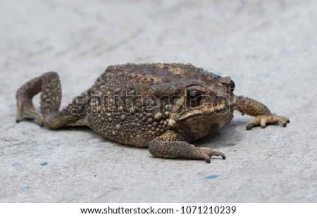 Close up of asian common toad in its habitat,Thailand