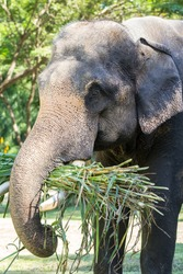 Close up of Asian elephant eating grass in safari