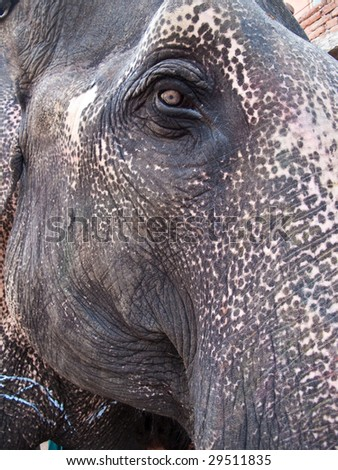 Close up of Asian elephants face and eye