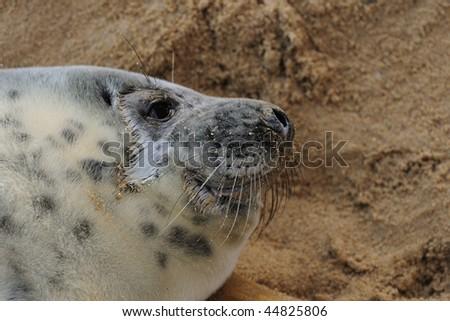 close up of Atlantic Grey Seal pup