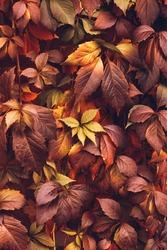 Close up of Autumn Virginia Creeper leaves, Macro of Autumn Wild Grape leaves, Colorful Leaves Of Creeper Plant As Fall Season Halloween Background