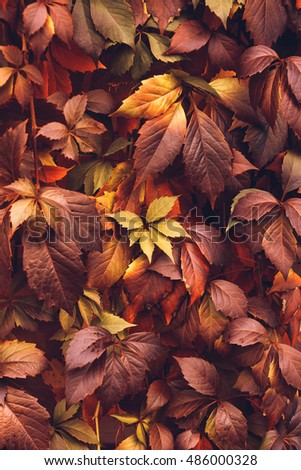 Close up of Autumn Virginia Creeper leaves, Macro of Autumn Wild Grape leaves, Colorful Leaves Of Creeper Plant As Fall Season Halloween Background #486000328