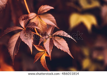 Close up of Autumn Virginia Creeper leaves, Macro of Autumn Wild Grape leaves, Colorful Leaves Of Creeper Plant As Fall Season Halloween Background #486051814