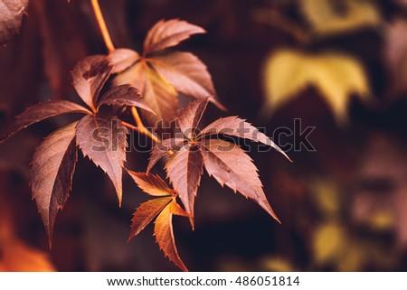 Close up of Autumn Virginia Creeper leaves, Macro of Autumn Wild Grape leaves, Colorful Leaves Of Creeper Plant As Fall Season Halloween Background #486051814