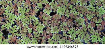 Close up of Azolla fern (Mosquito fern, Water  fern) for background #1499346593