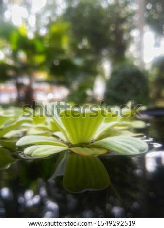 Close up of Azolla fern (Mosquito fern, Water fern) for background #1549292519