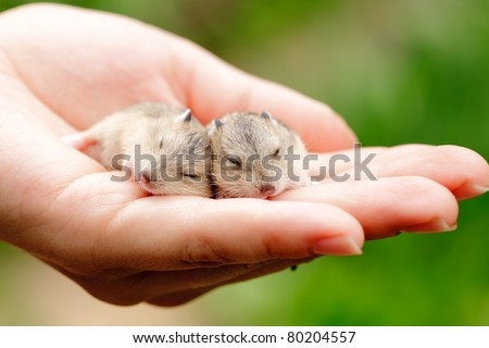 Close-up of baby hamsters being held in hand