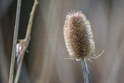 Close up of back lit Teasel with spiky flower head