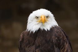 Close-up of bald eagle (haliaeetus leucocephalus, Seeadler), looking into the distance. Detail of beak, eyes, white feathers. Black, neutral background. Famous bird of prey. National symbol of the USA