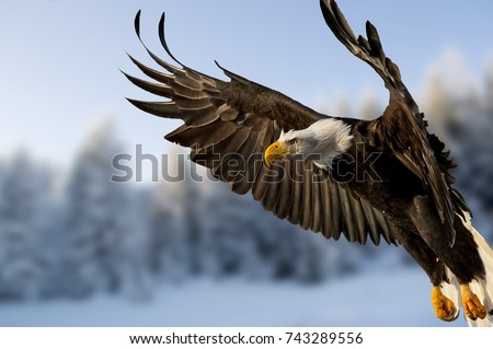 Close up of Bald Eagle in flight over forest covered with snow. Beautiful bird with wide wings close up.Fantastic detail of the bird in flight. Action scene of the bird of prey.