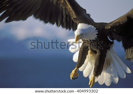 Shutterstock Close up of Bald Eagle in flight over water.