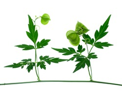 Close up of Balloon vine, Heart seed or Heart pea plant on white background. (Cardiospermum halicacabum)