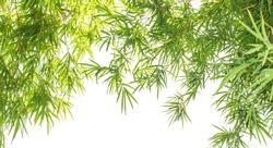 Close up of Bamboo forest, green leaves with natural light for banner or website design. Macro shot from under the bamboo tree. Landscape view of green leaf of bamboo leaf isolated on white background