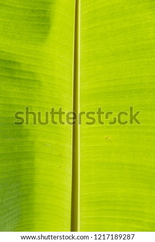 Close up of banana leaf or palm leaf for background picture in vertical rotation
