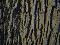 Close Up of Bark on Tree Stump. Old tree. many years old. history. carbon sink. close up of bark. tall. macro photography. multi use. blog. article. background or backdrop. sunlight on bark.