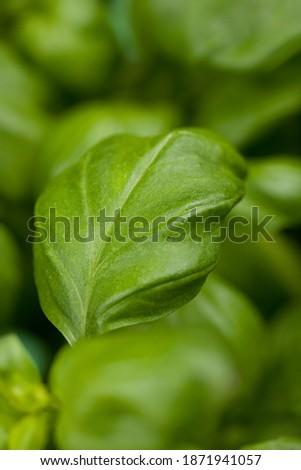 Close up of basil leafs. Studio photo. Selective focus on object Zdjęcia stock ©
