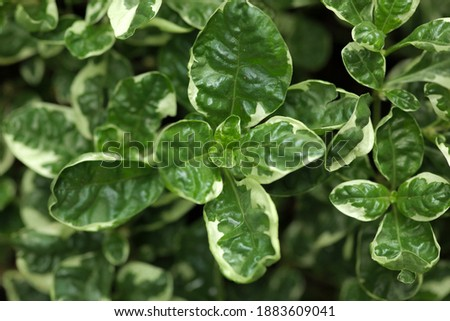 Close up of basil leaves texture background Zdjęcia stock ©
