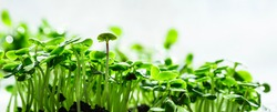 Close-up of basil microgreens. Growing basil sprouts close up view. Germination of seeds at home. Vegan and healthy eating concept. Sprouted seeds, micro greens.
