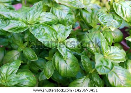 Close-Up of Basil (Ocimum basilicum) Plants Zdjęcia stock ©
