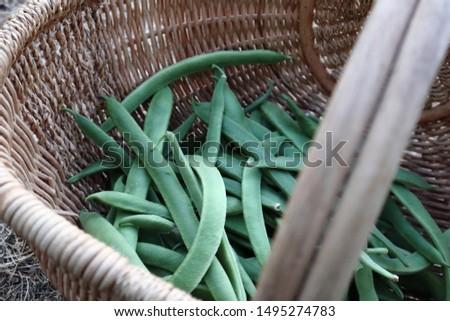close up of basket of freshly harvested scarlet runner beans (also called string beans or broad beans).