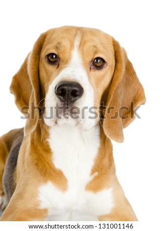 Close-up of Beagle puppy in front. isolated on white background #131001146