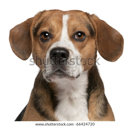 Close-up of Beagle, 3 years old, in front of white background - stock photo