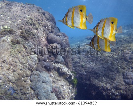 Close-up of Beaked Coralfish (Chelmon rostratus) swimming over coral reef.