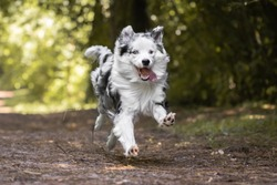 close up of beautiful and happy australian shepherd running towards camera on forest path