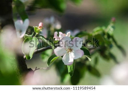 Close up of beautiful apple tree flower in its best time. Discribes beauty of spring garden, spring gardening and agricultural things.