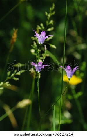 Close up of beautiful bell flowers in a summer meadow.
