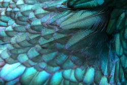 Close up of beautiful bird feathers, background in purple.