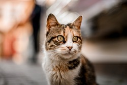 close-up of beautiful cat's head with stripes of gray and red colors on blurred background