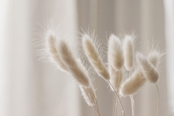 Close-up of beautiful creamy dry grass bouquet. Bunny tail, Lagurus ovatus plant against soft blurred beige curtain background. Selective focus. Floral home decoration.