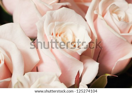 Close-up of beautiful creamy pink roses
