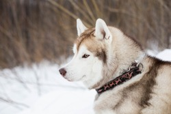 Close-up of beautiful dog breed siberian husky in winter forest. Profile portrait of husky topdog lying on the snow and observing mountains.