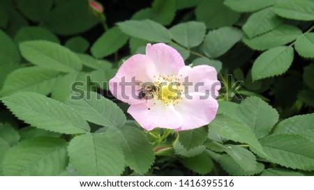 Close up of beautiful dog rose flower in flowerbed in summer garden #1416395516