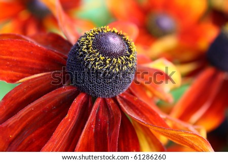 Close-up of beautiful flame red and orange zinnia. Focus is on foreground flower.