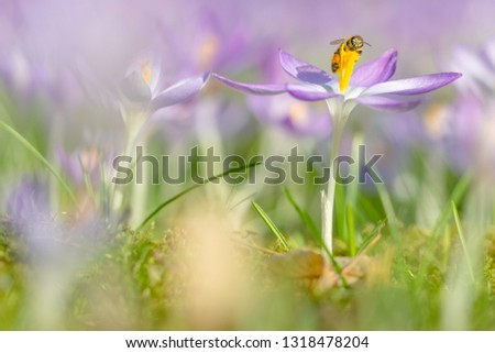 Close-up of beautiful Flowering Crocus Flowers in Spring. View of beautiful Blooming Crocuses on a Meadow in the Morning Light. Spring Flowers. #1318478204