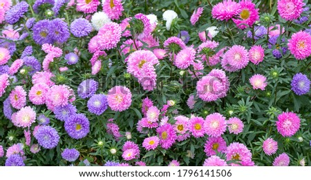 close up of beautiful flowers Callistephus chinensis or Callistephus or China aster and annual aster in pink and violet colors blomming in the garden in summer season.  Foto stock ©