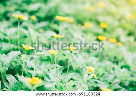 Free photos creeping wedelia little yellow star flowers avopix close up of beautiful little yellow star or yellow button flowers scientific namemelampodium mightylinksfo