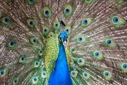 close up of beautiful male peacock feathers.