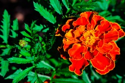 Close up of beautiful Marigold flower (Tagetes erecta, Mexican, Aztec or African marigold) in garden on background of green foliage with space for text. Marigold, red flower, orange marigold.