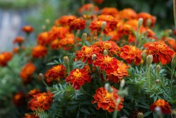 Close up of beautiful Marigold flower (Tagetes erecta, Mexican, Aztec or African marigold) in the garden. Macro of marigold in flower bed sunny day. Magrigold background or tagetes card.
