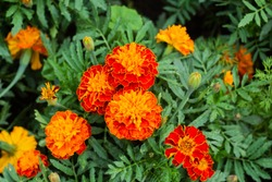 Close up of beautiful Marigold flower (Tagetes erecta, Mexican, Aztec or African marigold) in the garden