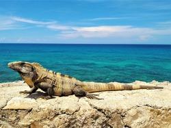 Close-up of beautiful Mexican iguana Ctenosaura Similis (aka black spiny-tailed iguana, black iguana) basking in sun with turquoise Caribbean Sea in background in Isla Mujeres, Riviera Maya, Mexico