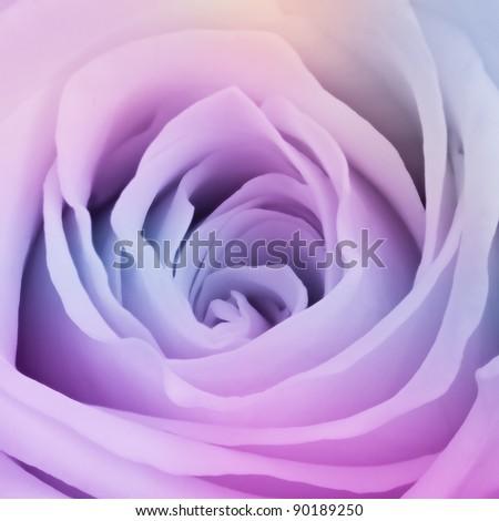 close up of beautiful multicolor rose