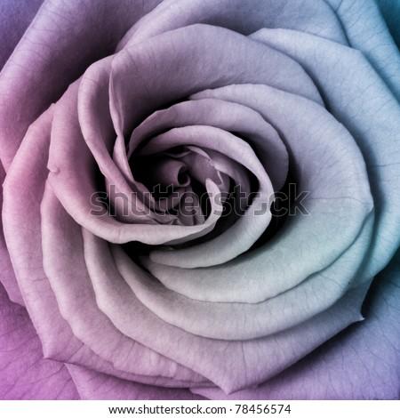 close up of beautiful multicolored rose